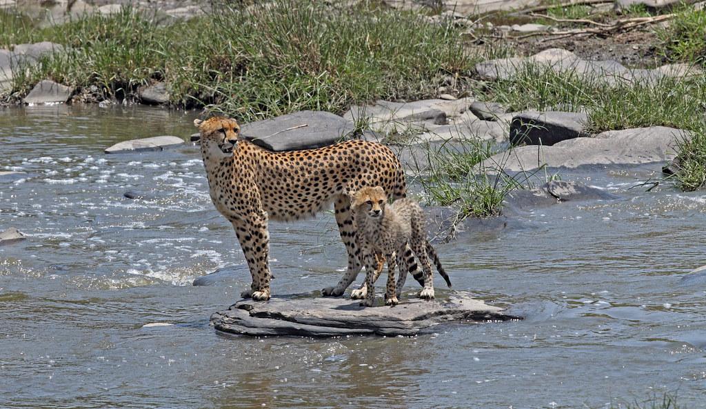 Crossing the Talek River. Masai mara . Kenya.
