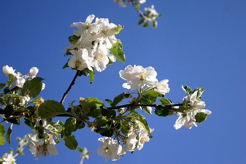 Apple tree flower III
