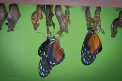 Butterflies emerging from their pupae