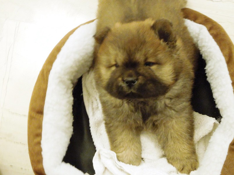 Sherlock - Chow Chow - 2 months old