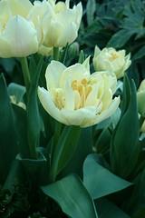 White Tulips #Tulipmania2014