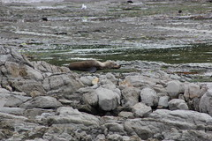 NZ Fur Seal - 1231 2013 001