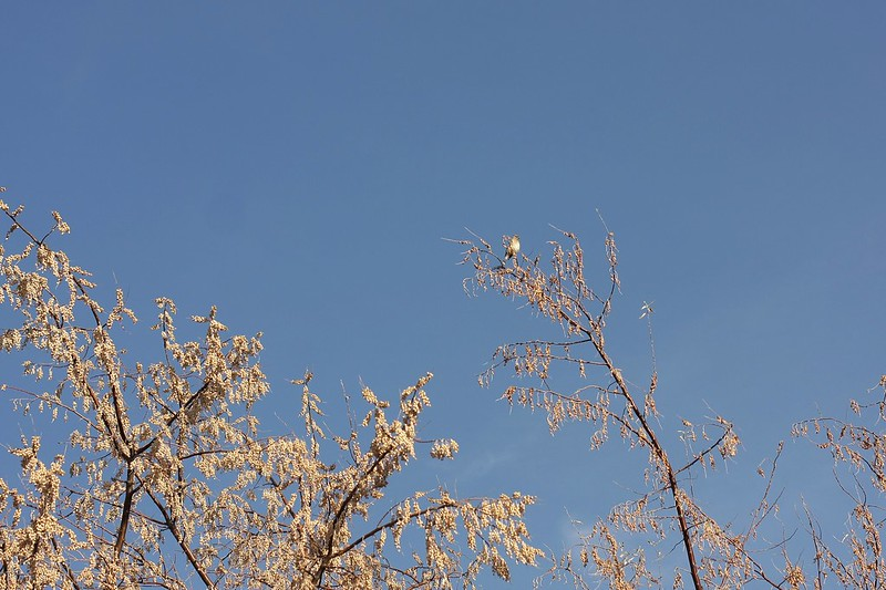 Cedar Waxwing high up in the tree