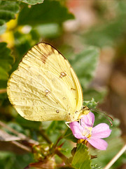 nectar(0.0), colias(0.0), arthropod(1.0), pollinator(1.0), animal(1.0), moths and butterflies(1.0), butterfly(1.0), flower(1.0), leaf(1.0), yellow(1.0), nature(1.0), invertebrate(1.0), macro photography(1.0), flora(1.0), fauna(1.0), cabbage butterfly(1.0), close-up(1.0), petal(1.0),