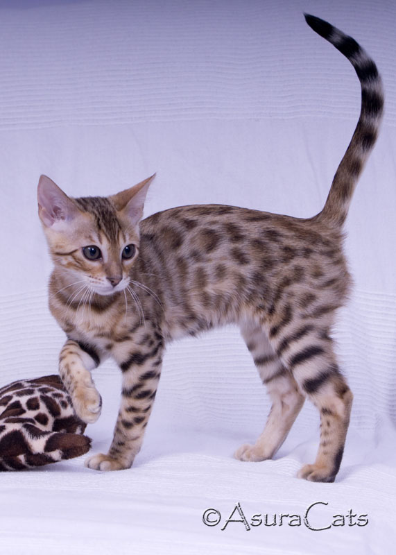 AsuraCats Aurora Beam - Brown rosetted Bengal
