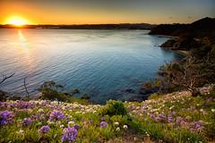 Agapanthus Sunset