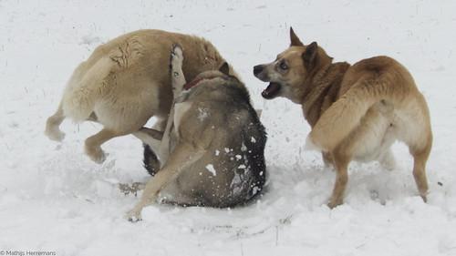Snowy, Yuma en Noa aan het spelen