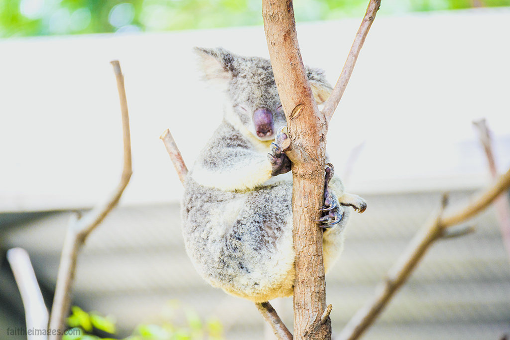 having a koala nap
