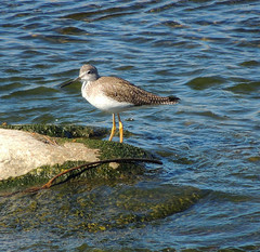 Greater Yellowlegs in Los Angeles River