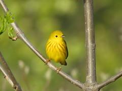Yellow Warbler/ Magee Marsh/ 5-11-2016