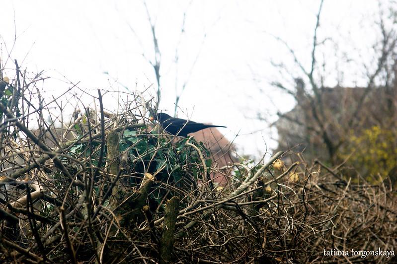 Черный дрозд на живой изгороди