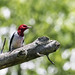 sunning red-headed woodpecker by Rebecca Wolff