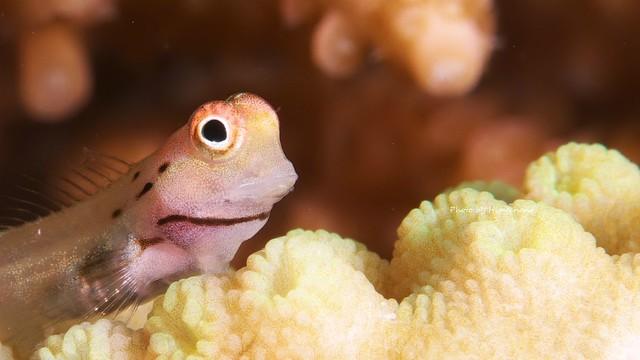 イシガキカエルウオ幼魚♪