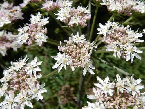 Bugs on hogweed