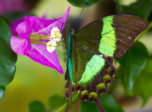 Emerald Swallowtail (Papilio palinurus) in flight