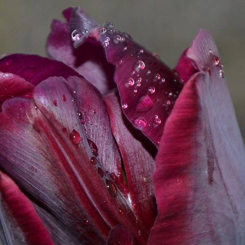 Tulip by Ginas Pics