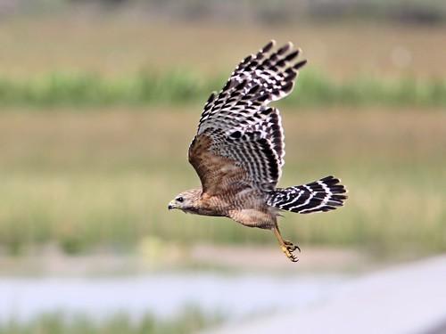 Red-shouldered Hawk in flight 20130520