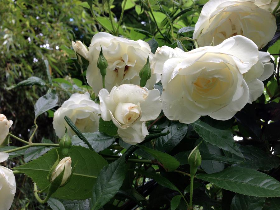 In rozenboog