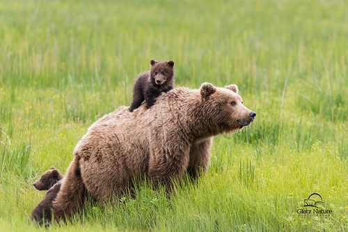 Brown Bear Spring Cub Rides Mom's Back