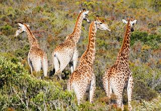 Giraffe Four