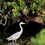 Great Blue Heron at Tualatin Community Park 2013