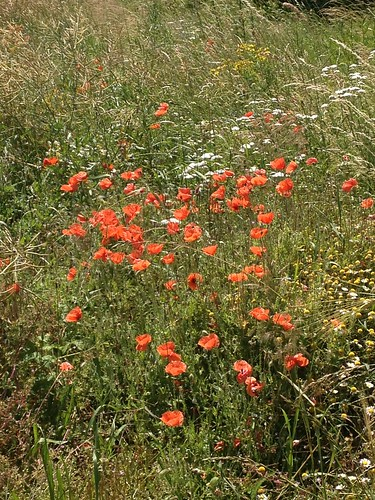 Poppies on the border