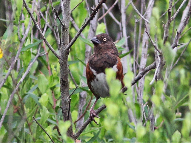 Eastern Towhee female 20130719