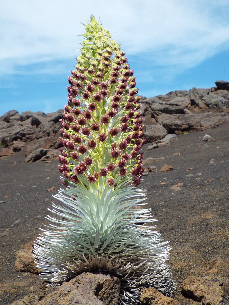 Silversword Bloom, near the summit of Haleakala