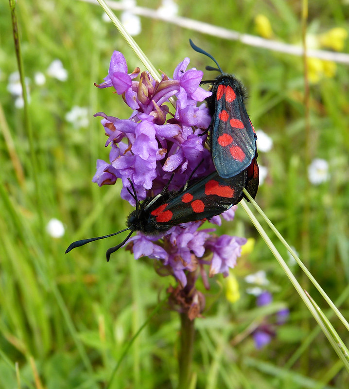 P1050298 - Six-spot Burnet, Isle of Mull