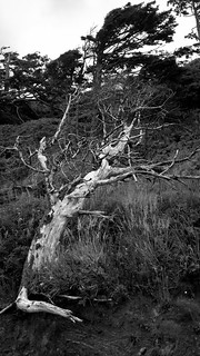 Windblown Tree (B&W)