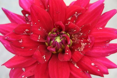 dahlia_passionate_petal_damage