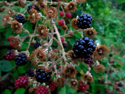 Blackberries mid-season