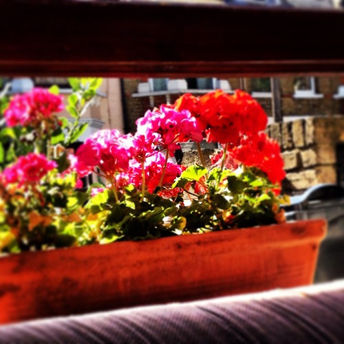 Cam's picture of my geraniums