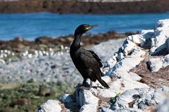 Hornøya - Vardø - Phalacrocorax aristotelis