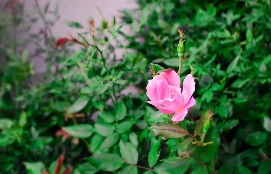 rose sept 2120130921-DSC_3613.jpg
