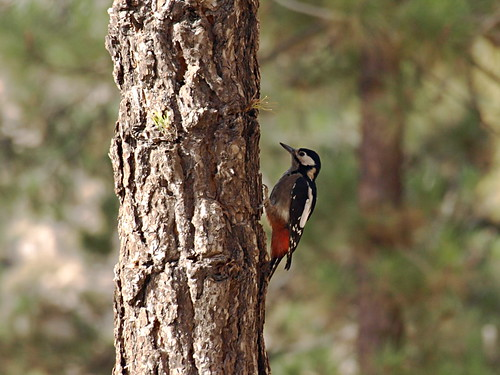Great Spotted Woodpecker, Tenerife