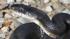 boas(0.0), eastern diamondback rattlesnake(0.0), hognose snake(0.0), viper(0.0), garter snake(0.0), sidewinder(0.0), animal(1.0), serpent(1.0), snake(1.0), reptile(1.0), grass snake(1.0), fauna(1.0), rattlesnake(1.0), elapidae(1.0), scaled reptile(1.0), kingsnake(1.0), wildlife(1.0),