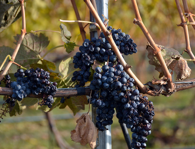 GrapeClustersEarlyNovember
