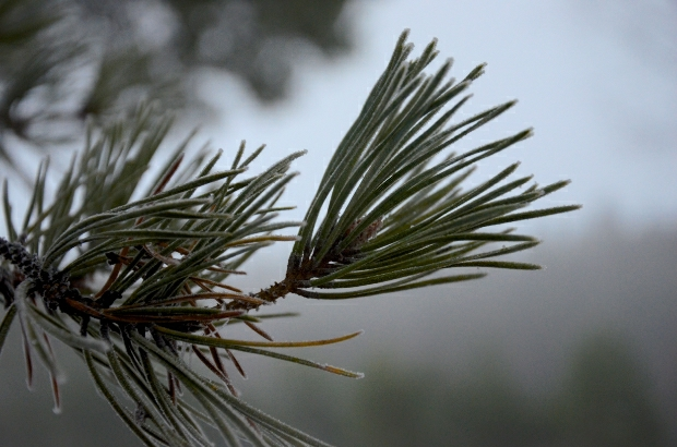 Frozen Pine | December day18