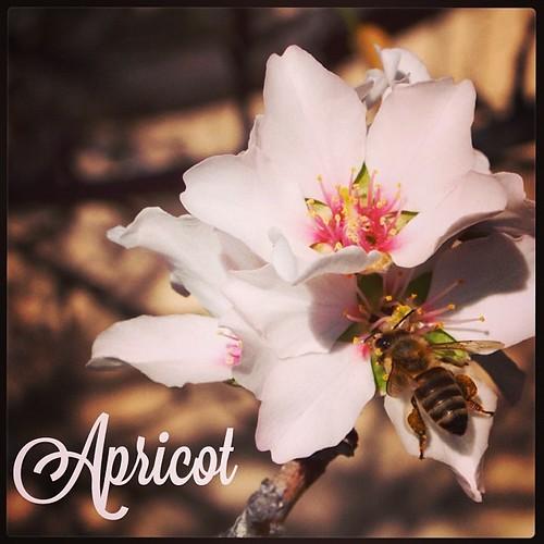 Garden Alphabet: Apricot