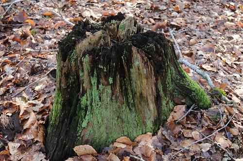 Grün überwachsener Baumstumpf in Staatsforsten in Ostenfeld, Nordfriesland (31)