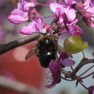 SmallCarpenterBee_on_Redbud_closeup_1807sq