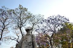 florecen los jaracandas en la plaza Necaxa