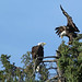 Bald Eagles...#3