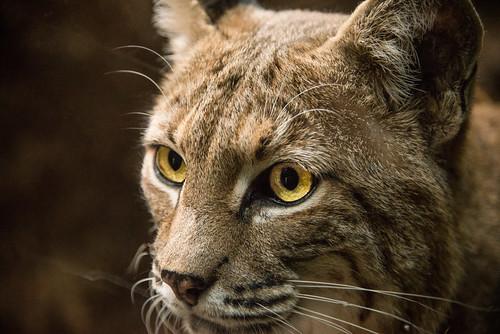 Bobcat Macro