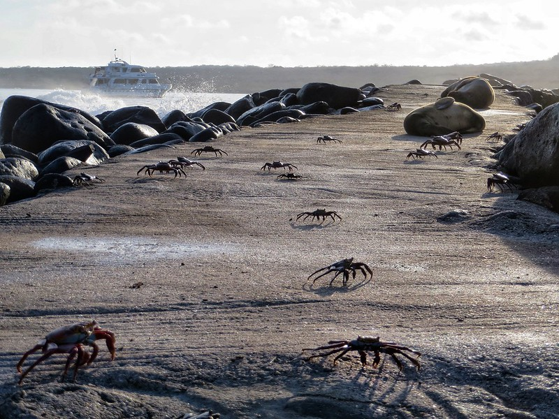 crabs on a Galapagos island pathway