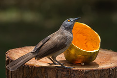 Brown Babbler looking up from eating papaya