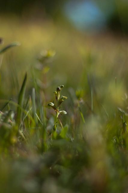 Frog Orchid - Dactylorhiza viridis - Groene nachtorchis