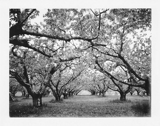 [2014_04_24] Orchard in Black & White