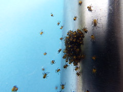 Invasion of the baby spiders